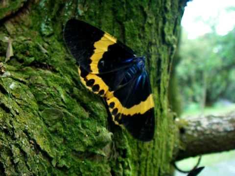 橙帶藍尺蛾 , Moth, Milionia basalis - YouTube