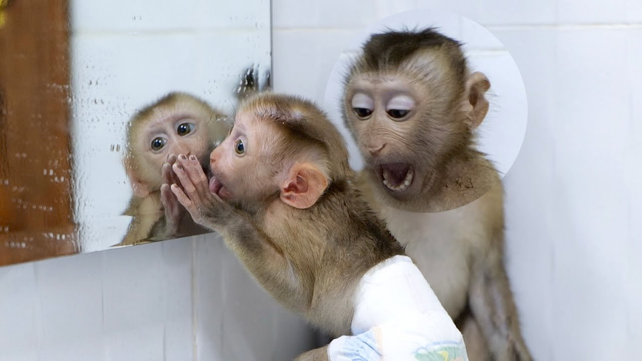 First Time Confident !!! GiGi Look In The Mirror Before Bathing With Monkey Bono