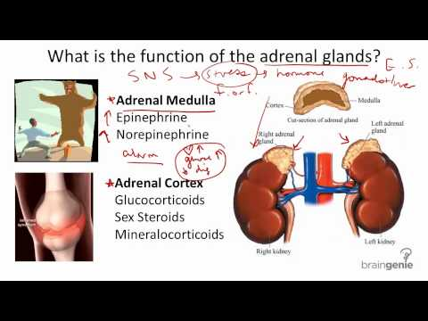 8.2.5 Adrenal Glands - Structure and Function