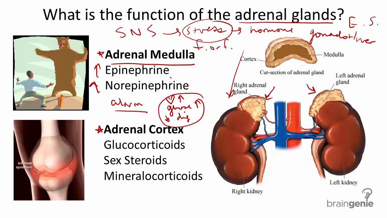 8.2.5 Adrenal Glands - Structure and Function - YouTube