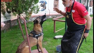 Belgian Malinois HARD Training (Protection & Guard Dogs)