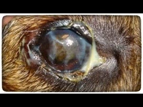 Гноятся глаза у собаки лечение в домашних условиях