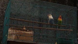 Ramai Kicauan Lovebird Lovebirds Sounds #35