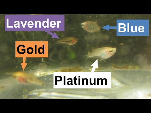 My First Platinum Gourami!  Goals That Keep Me Breeding And Raising Fish