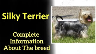 Silky Terrier. Pros and Cons, Price, How to choose, Facts, Care, History