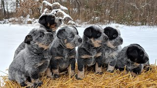 Australian cattle dog puppy, exercise for 1 or 2 months old