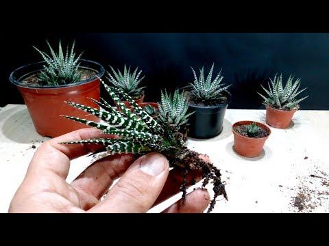 How to grow Zebra Plant  Haworthia from cutting