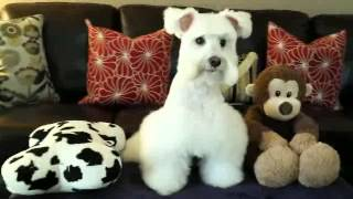 White Toy Schnauzer Charlie - Perfect Hair Cut By My Mommy 12/26/2014