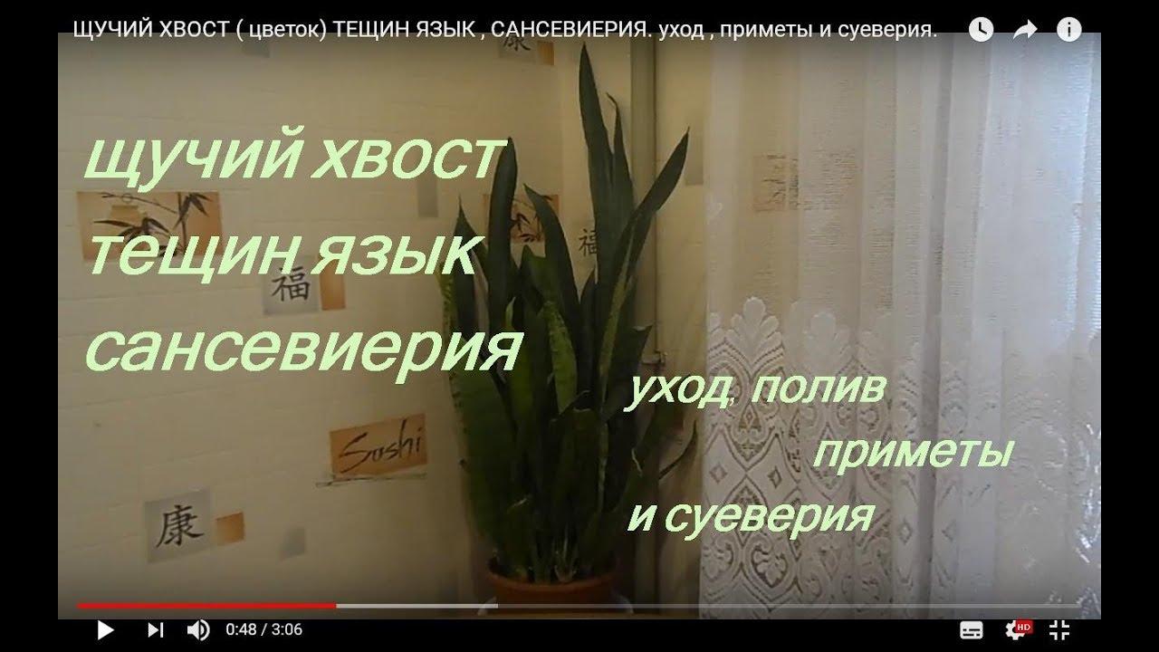 ЩУЧИЙ ХВОСТ ( цветок) ТЕЩИН ЯЗЫК , САНСЕВИЕРИЯ. уход , приметы и суеверия.
