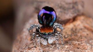 Peacock Spider 18 (Maratus robinsoni)