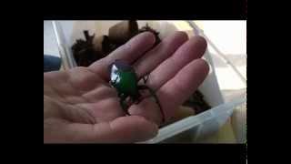 Dicronorrhina micans - Das Männchen