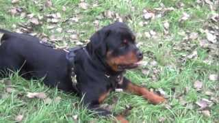 Best Dog Harness For Rottweiler Temperament!