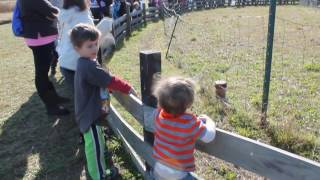 Pig races at Sahl's Father Son Farm