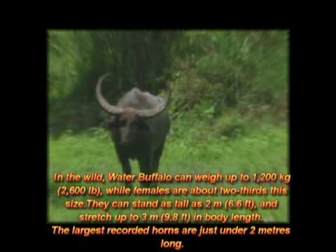Wild asian Buffalo - Buffalo Water - Buffalo Wild - Asiatic Buffalo - Asian Buffalo (1)