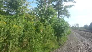wild phemp plants documentary.wild weed growing pa