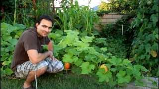 Butternut Squash Growing Tips