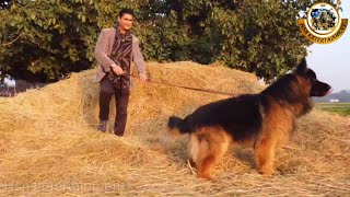 The World's Biggest Champion German Shepherd in Punjab  Hsn Entertainment