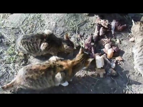 Вопрос: Почему кошки едят рыбу и не давятся костями?