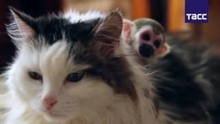 Кошка выхаживает новорожденную обезьянку саймири