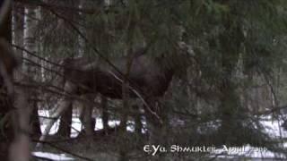 Впервые на Youtube: Лось в формате HD