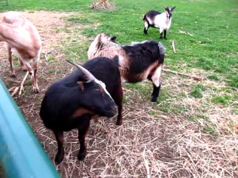 Goat for Display, mating. - YouTube