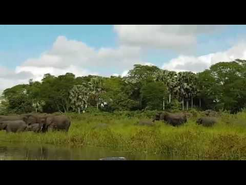 MALAWI Elephant being attacked at mvuu camp