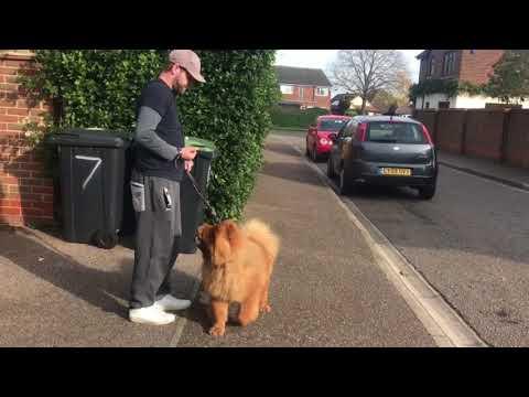 DOG WHISPERER ?? | REACTIVE CHOW CHOW | REWARDING CALMING SIGNALS | PT.1