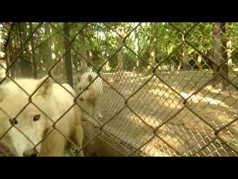 Fehér Farkasok letöltés