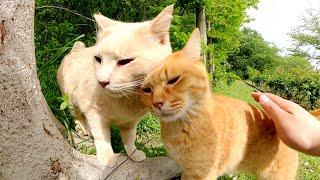 濃淡茶トラ猫コンビが頬をスリスリして仲良しアピール