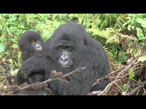 Gorilla Trekking in Rwanda - Land of a thousand hills