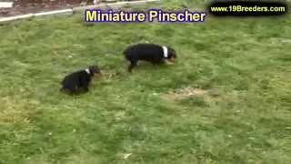 Miniature Pinscher, Puppies, For, Sale, In, Detroit, Michigan, Mi, Waverly, Holt, Inkster, Wyandotte