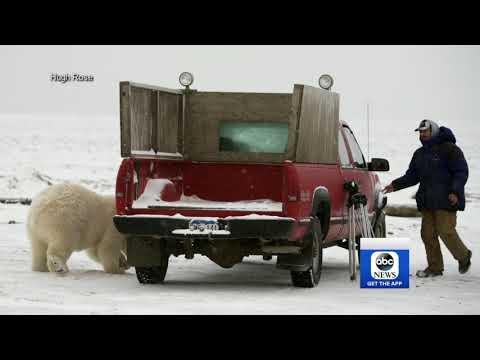 ABC World News Tonight 11/28/17 - Alaskan town's polar bear problem leads to tourism boom.