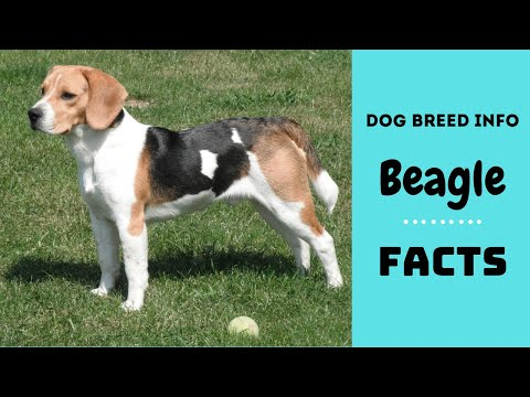 Beagle dog breed. All breed characteristics and facts about Beagle dogs