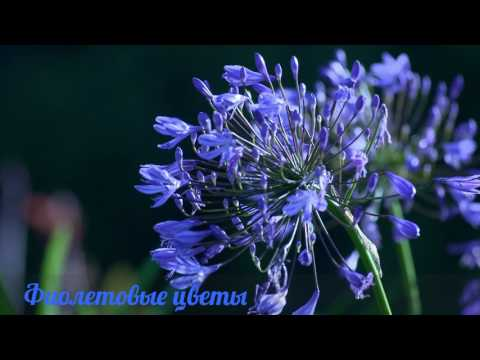 полевые фото и с названиями цветы фиолетовые