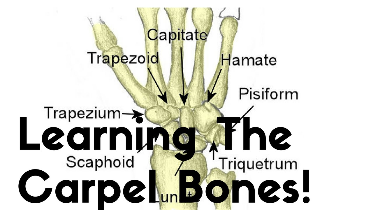 Tricks for Remembering Bones in Anatomy | Synonym