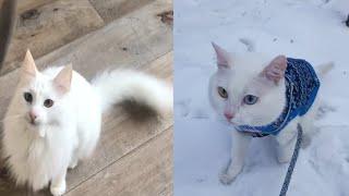 TURKISH ANGORA CATS 2021