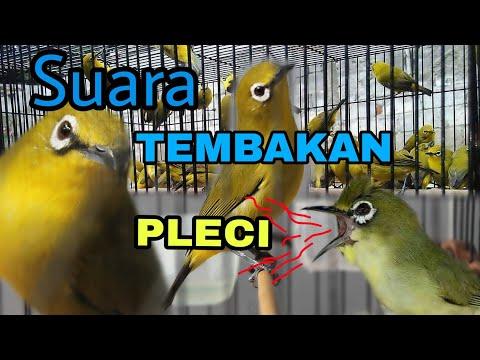 Suara Masteran Burung PLECI Paling DICARI Untuk Cetak PRESTASI || Download Masteran PLECI