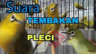 Gambar cover Suara Masteran Burung PLECI Paling DICARI Untuk Cetak PRESTASI || Download Masteran PLECI