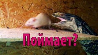 Кормление варана живыми крысами и мышами