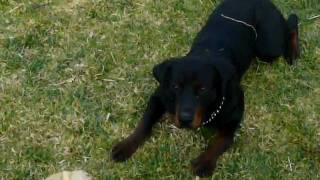 Vp Rottweiler Kennels Presents Proper Temperment When Training And Breeding Dogs