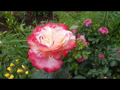 Розы в моем саду  Лето 2018
