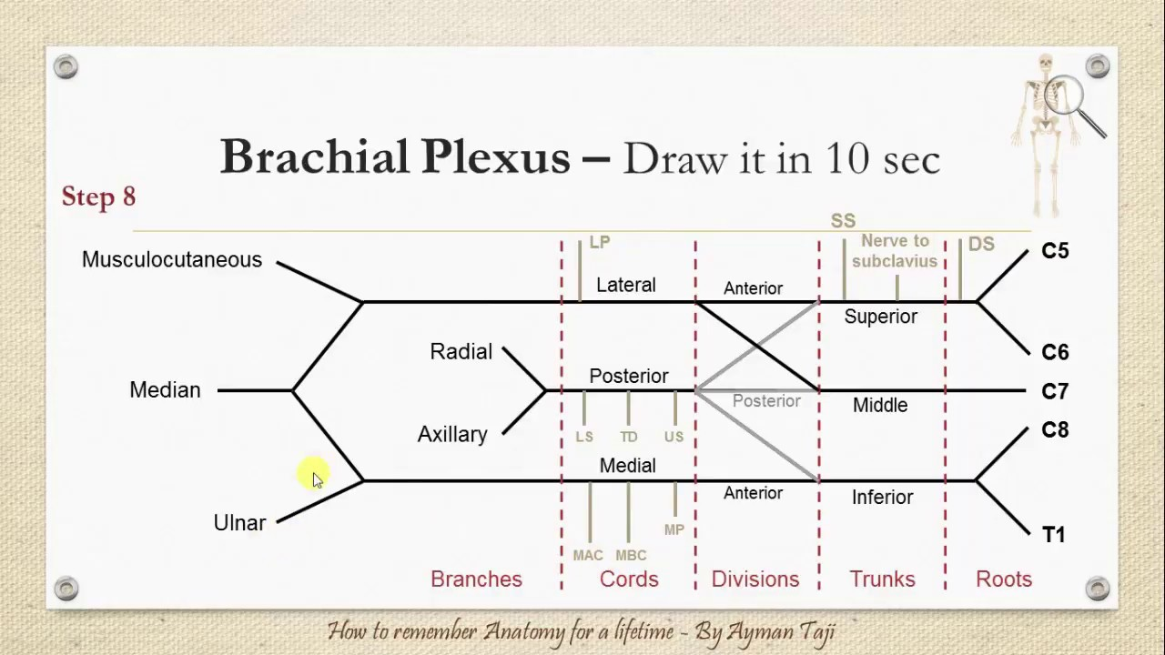 How to Draw the Brachial plexus in 10 secs - How to Remember Anatomy ...