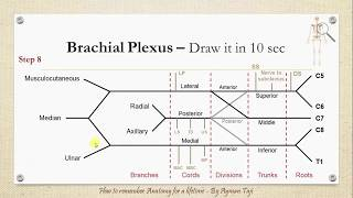 How to Draw the Brachial plexus in 10 secs - How to Remember Anatomy for a Lifetime!