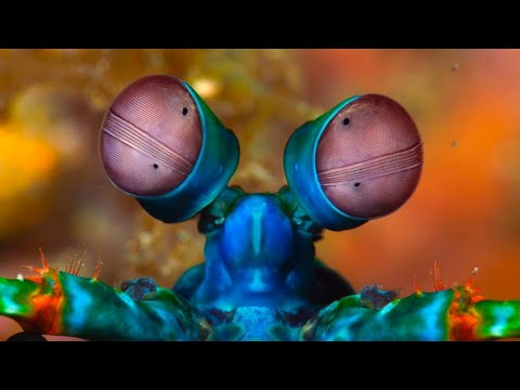 The Most Amazing Animal Eyes | The Peacock Mantis Shrimp | Love Nature