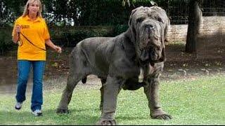 Самые большие собаки на планете видео \TOP 10 BIGGEST GUARD DOGS IN THE WORLD - 2016\ Алабай