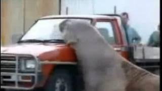 Морской слон атакует машину