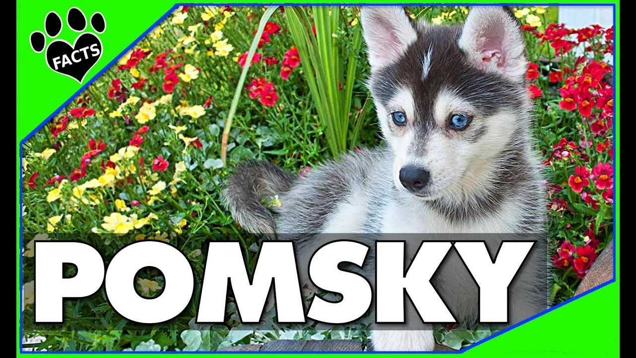 Designer Dogs 101: Pomsky The Adorable Siberian Husky Pomeranian Mix - Animal Facts