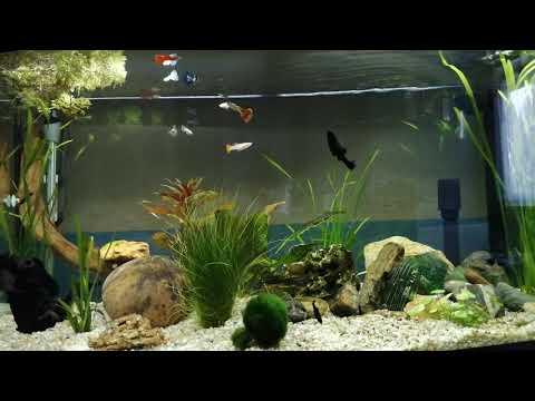Aqua Fluval Vicenza 180 Liter Fische erobern ihr Aquarium/ of fish conquer their new aquarium