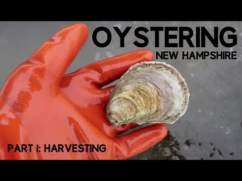 Oystering New Hampshire Part 1: Harvesting