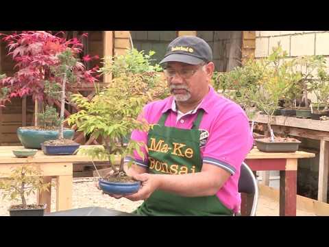 How to Care for a Zelkova Bonsai, Japanese Elm Bonsai excellent bonsai tree for beginners #193